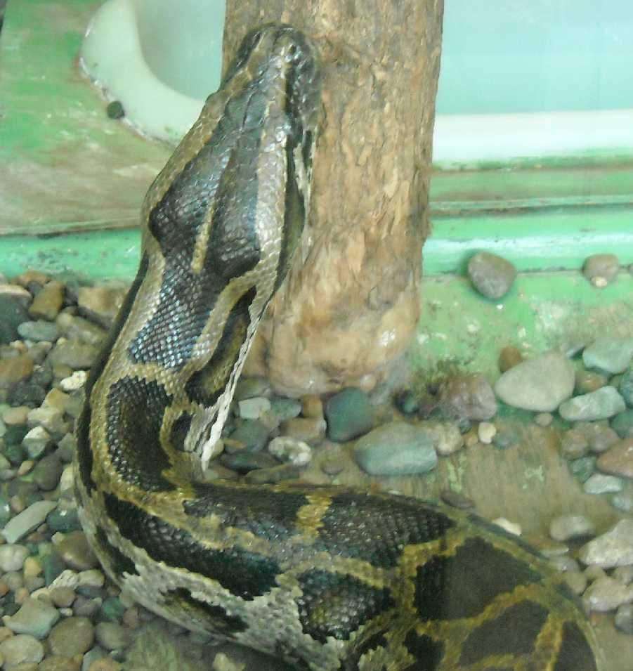Тигровый питон - Python molurus  (фото 5769)