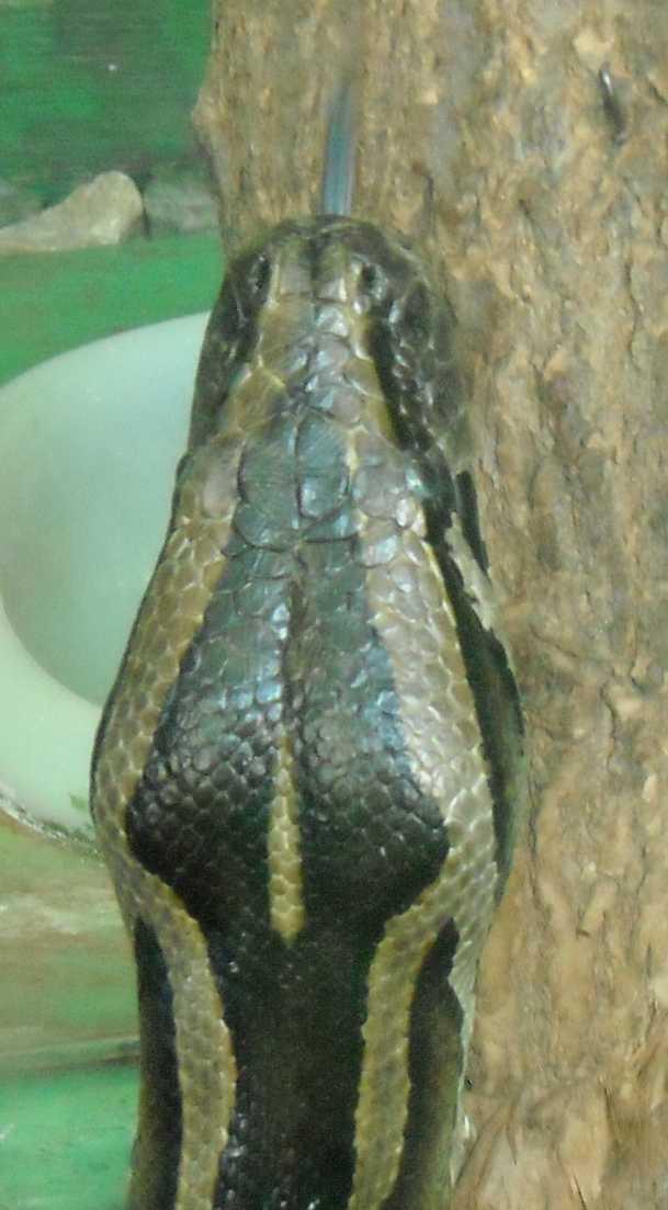 Тигровый питон - Python molurus  (фото 5771)
