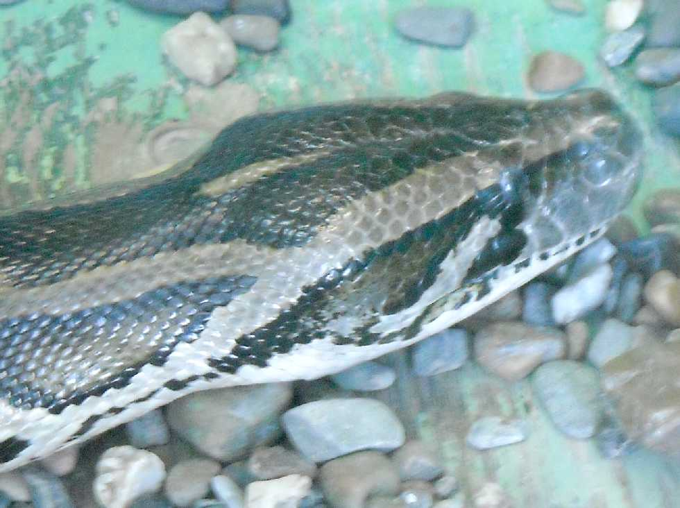 Тигровый питон - Python molurus  (фото 5772)