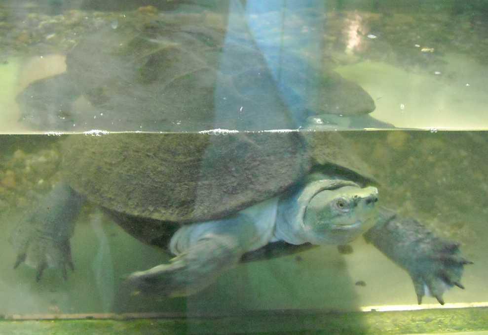 Средиземноморская черепаха - Testudo graeca  (фото 5774)