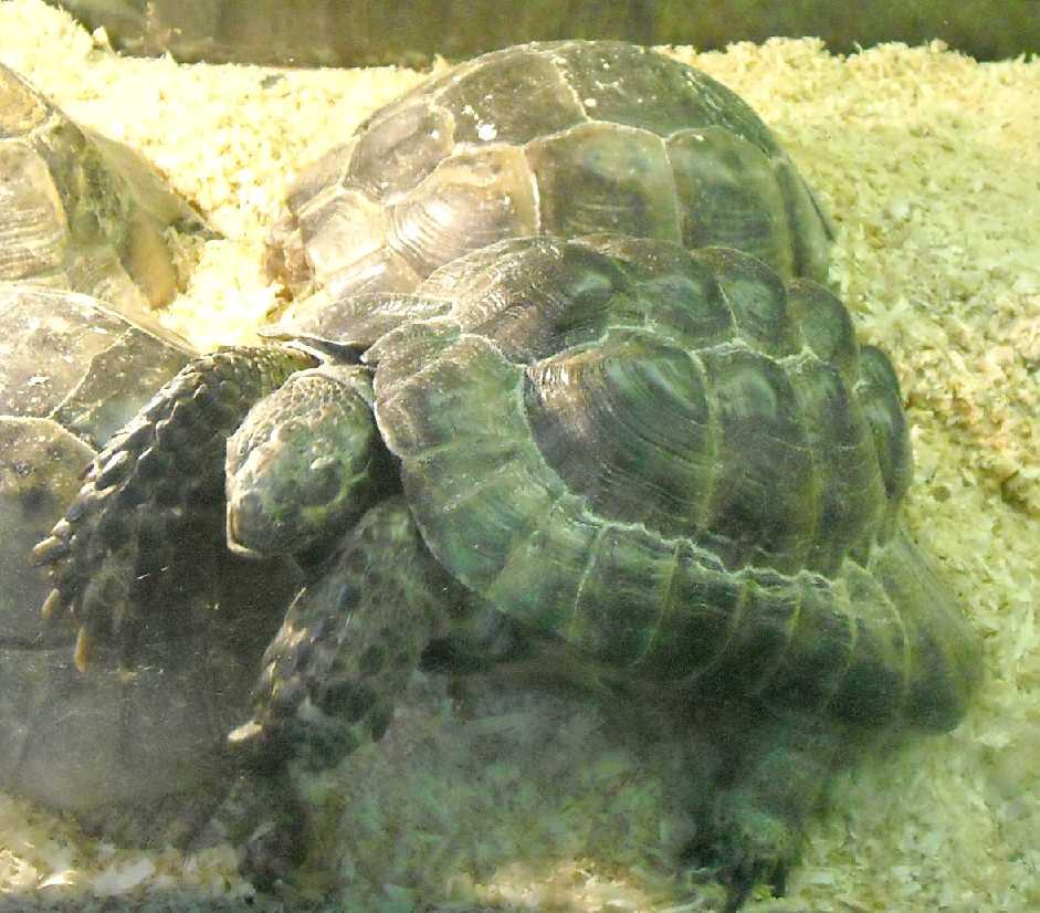 Средиземноморская черепаха - Testudo graeca  (фото 5775)