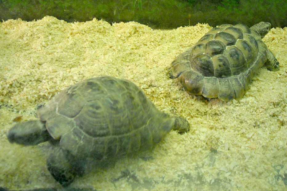 Средиземноморская черепаха - Testudo graeca  (фото 5776)
