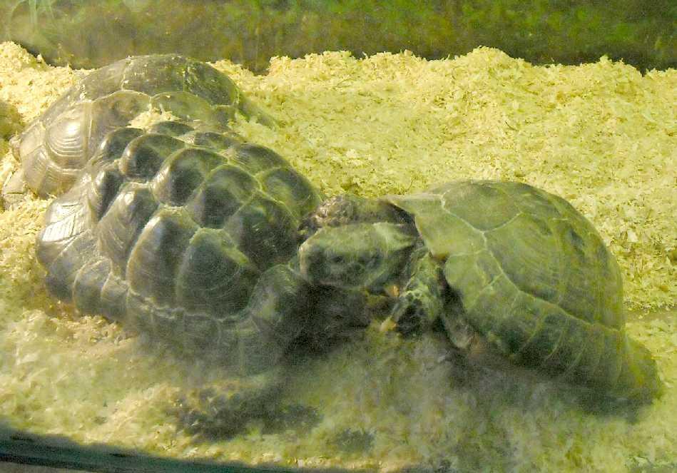 Средиземноморская черепаха - Testudo graeca  (фото 5777)