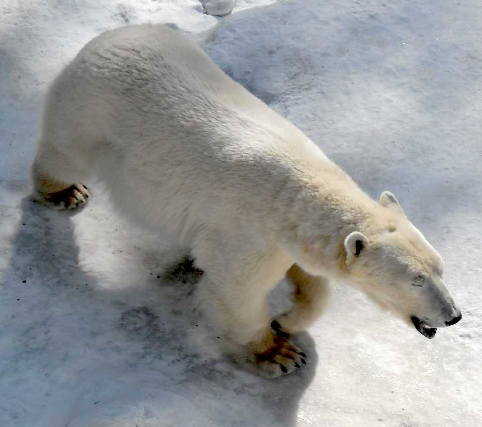 Белый медведь - Ursus maritimus  (фото 5851)