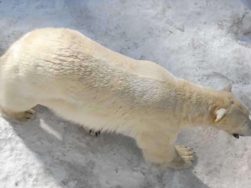 Белый медведь - Ursus maritimus  (фото 5852)