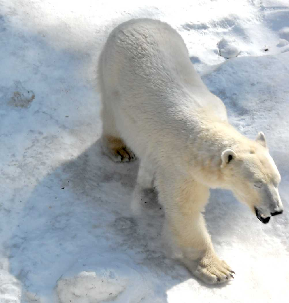 Белый медведь - Ursus maritimus  (фото 5854)