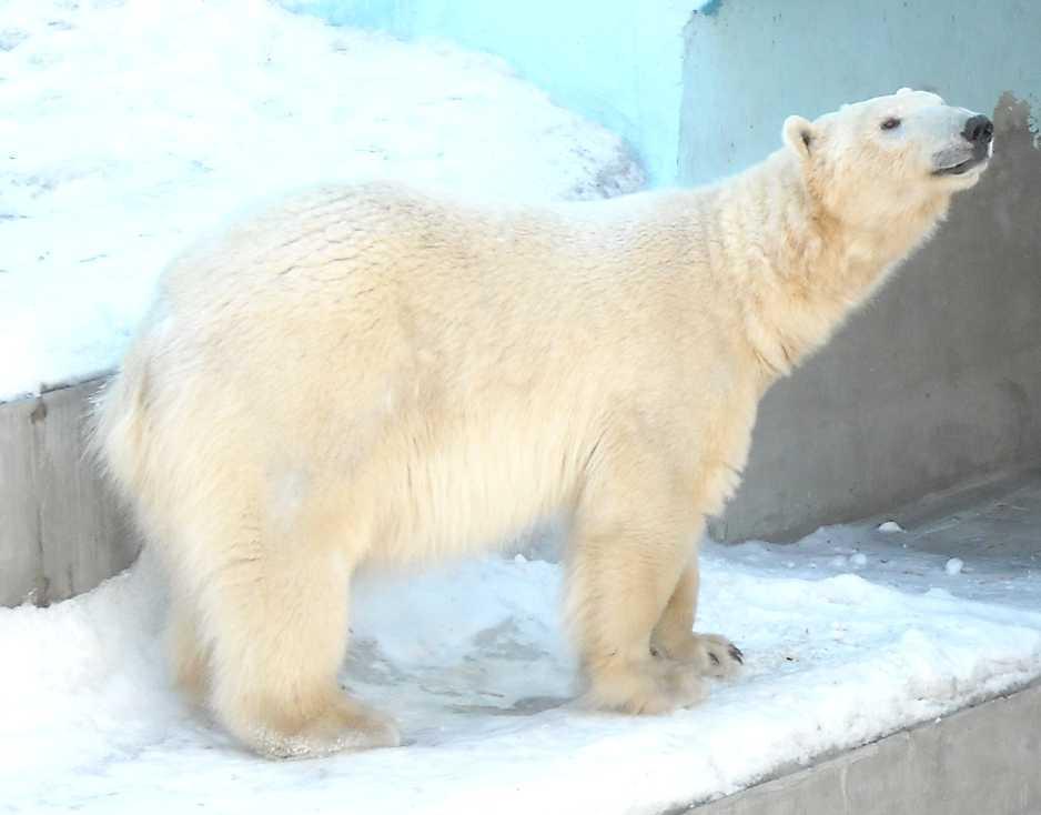 Белый медведь - Ursus maritimus  (фото 5856)