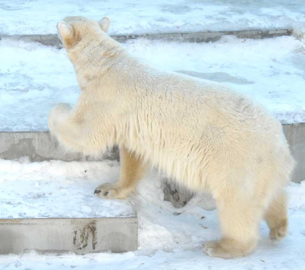 Белый медведь - Ursus maritimus  (фото 5857)