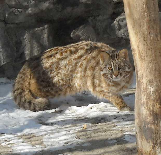 Дальневосточный лесной кот - Felis euptilura  (фото 5865)