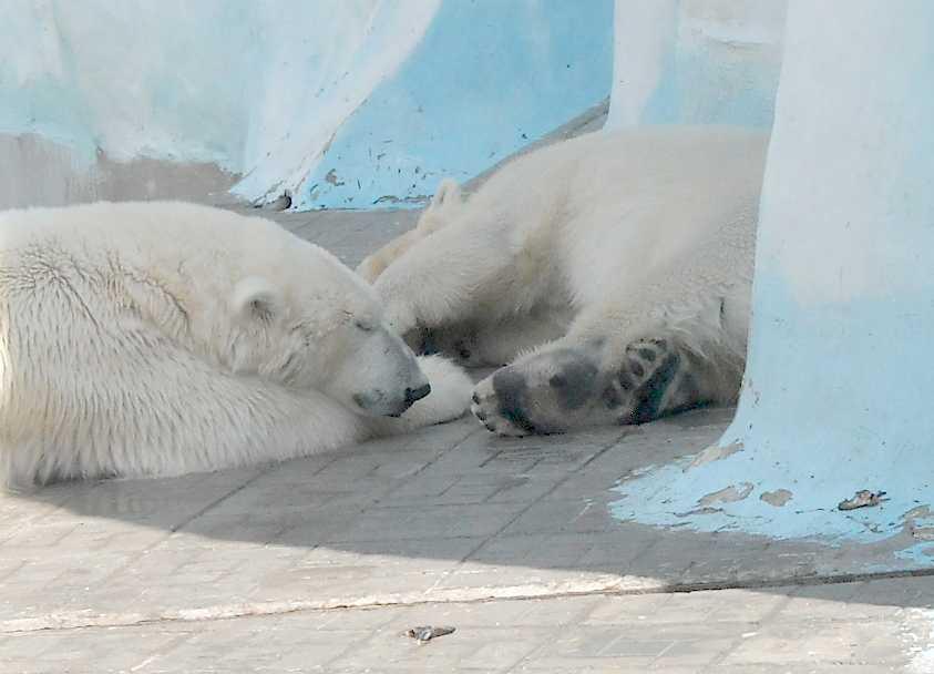 Белый медведь - Ursus maritimus  (фото 5998)