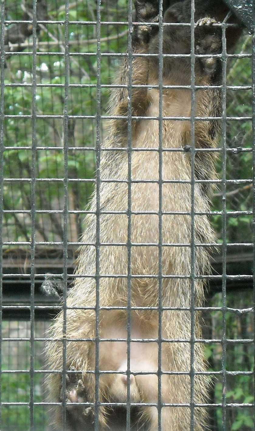 Полосатый мангуст - Mungos mungo  (фото 6081)