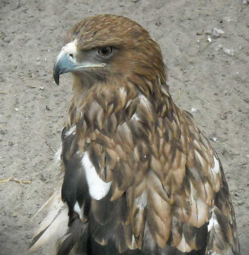 Могильник - Aquila heliaca  (фото 6192)