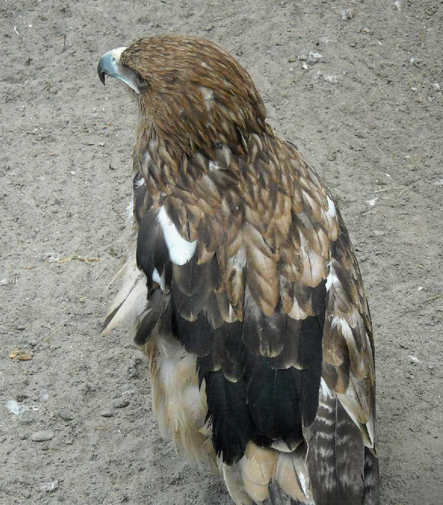 Могильник - Aquila heliaca  (фото 6193)
