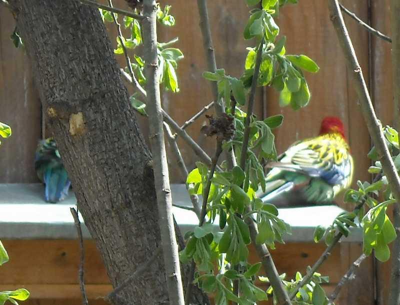 Обыкновенная (пестрая) розелла - Platycercus eximius  (фото 6204)