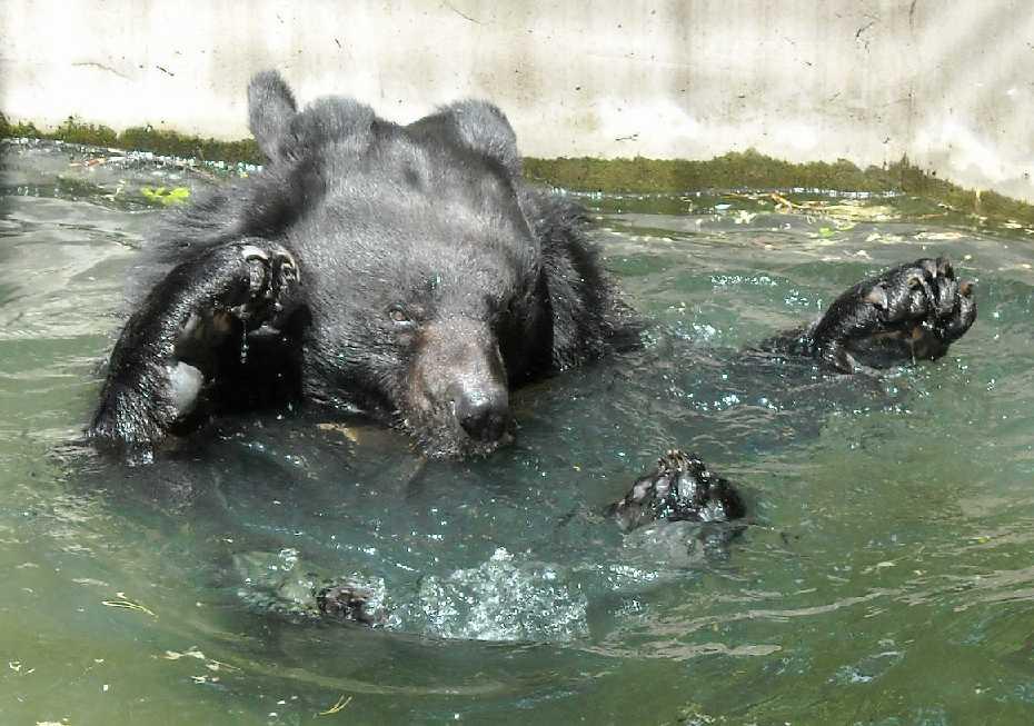 Уссурийский белогрудый медведь - Ursus thibetanus ussuricus  (фото 6212)