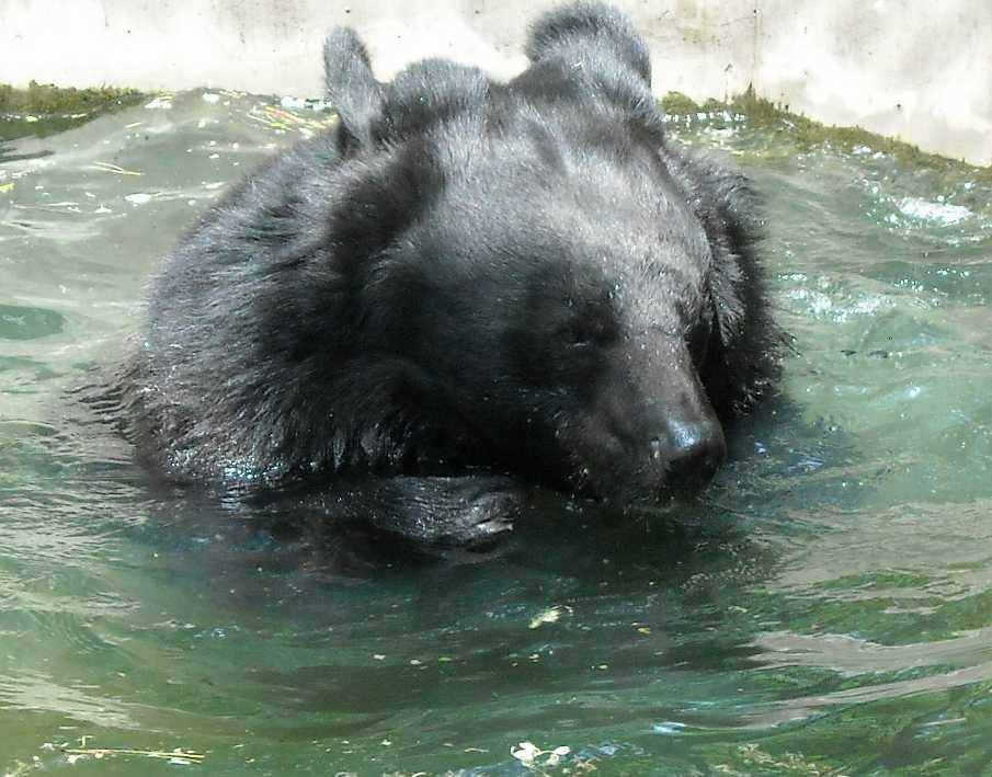 Уссурийский белогрудый медведь - Ursus thibetanus ussuricus  (фото 6213)