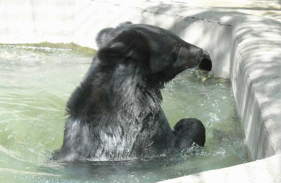Уссурийский белогрудый медведь - Ursus thibetanus ussuricus  (фото 6214)