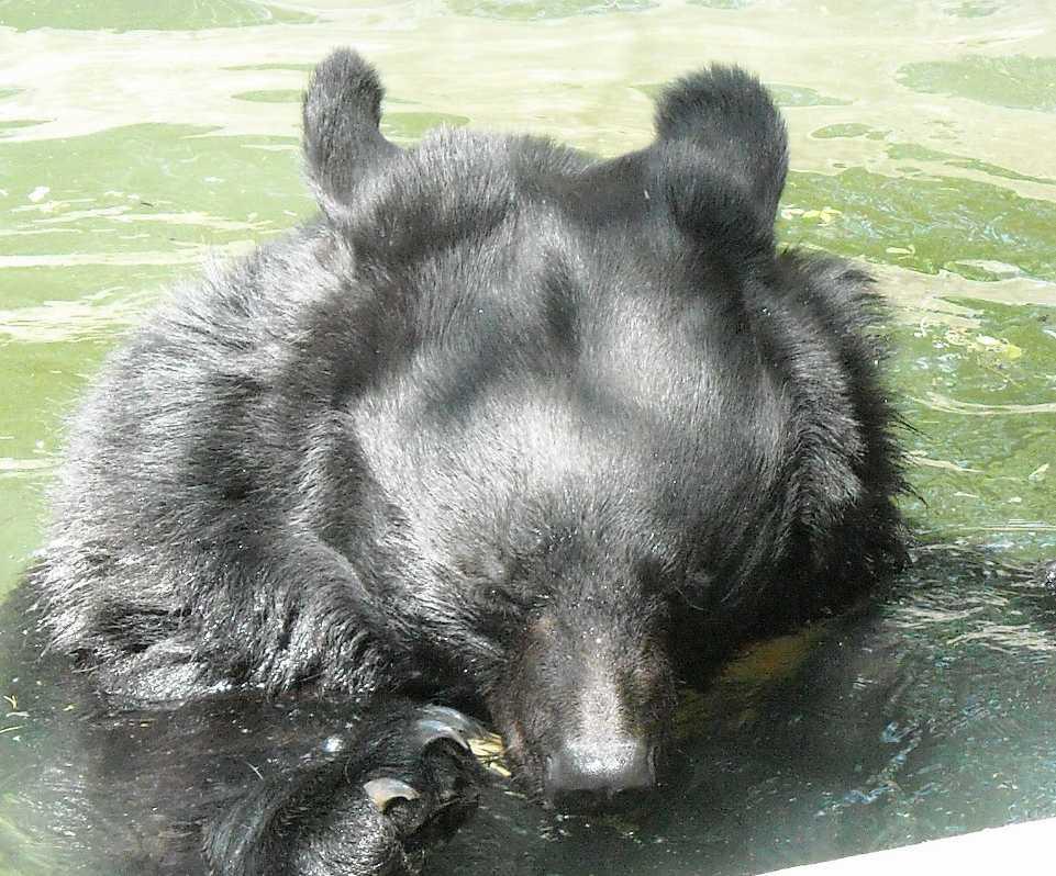 Уссурийский белогрудый медведь - Ursus thibetanus ussuricus  (фото 6215)