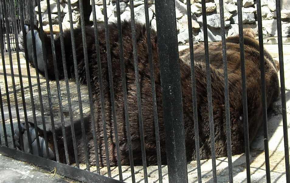 Бурый медведь - Ursus arctos  (фото 6216)