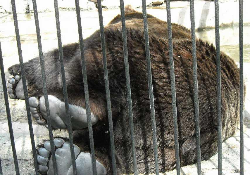 Бурый медведь - Ursus arctos  (фото 6217)