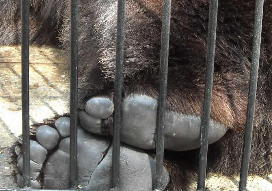 Бурый медведь - Ursus arctos  (фото 6218)