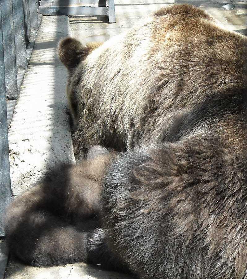 Бурый медведь - Ursus arctos  (фото 6219)
