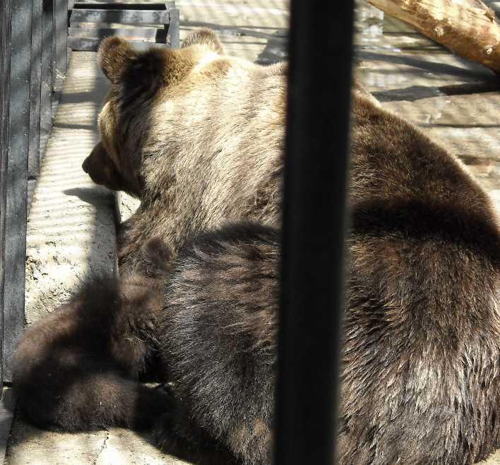 Бурый медведь - Ursus arctos  (фото 6220)