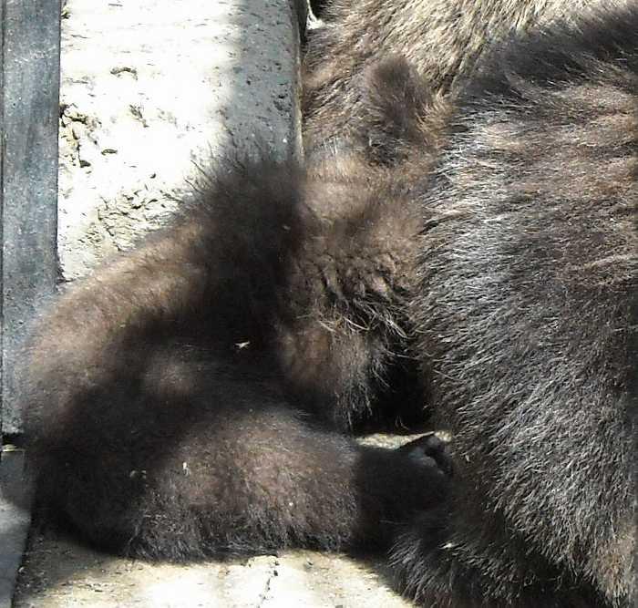Бурый медведь - Ursus arctos  (фото 6221)