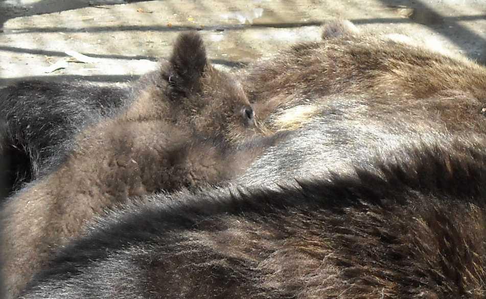 Бурый медведь - Ursus arctos  (фото 6222)