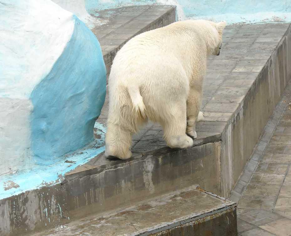 Белый медведь - Ursus maritimus  (фото 6388)