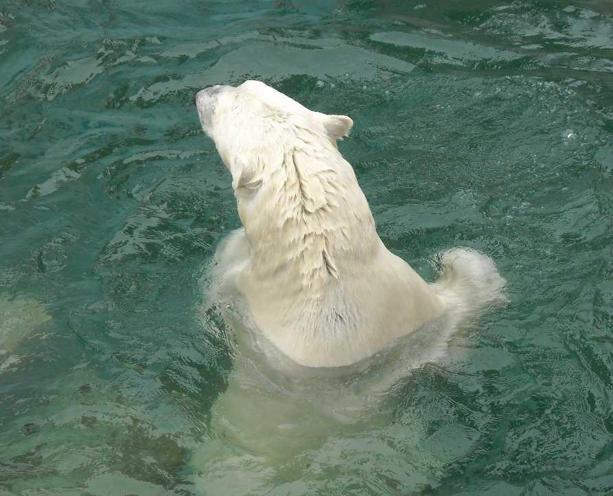 Белый медведь - Ursus maritimus  (фото 6389)