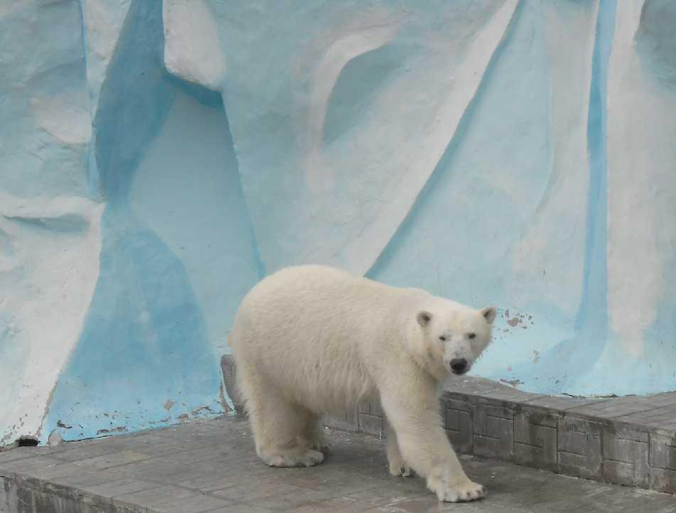 Белый медведь - Ursus maritimus  (фото 6392)