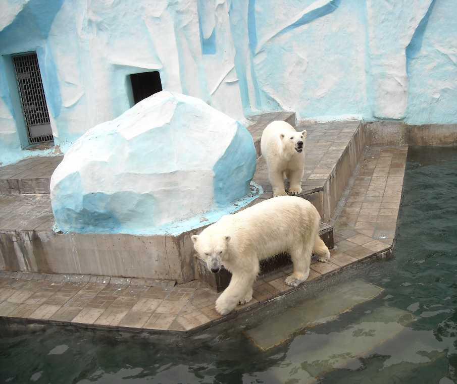 Белый медведь - Ursus maritimus  (фото 6393)