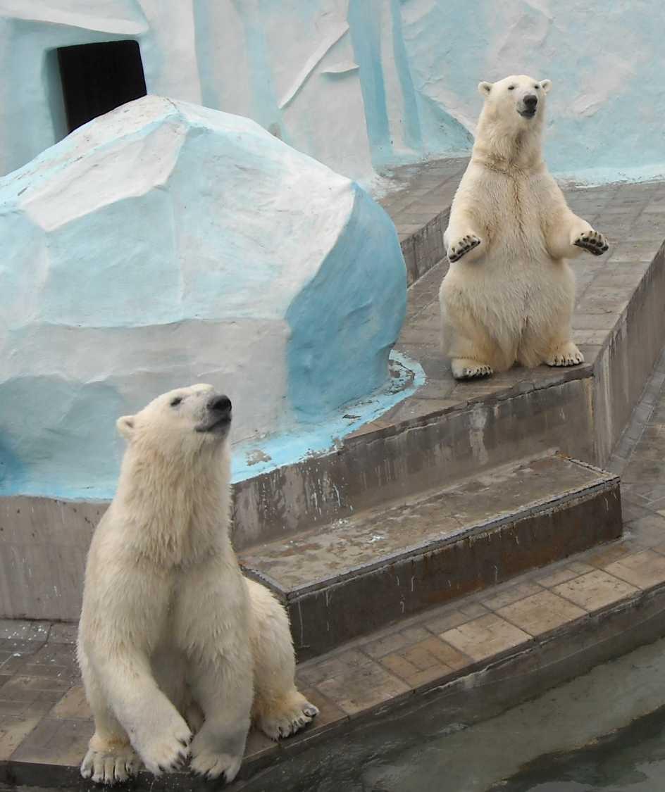 Белый медведь - Ursus maritimus  (фото 6394)