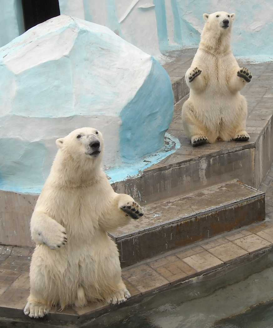 Белый медведь - Ursus maritimus  (фото 6395)