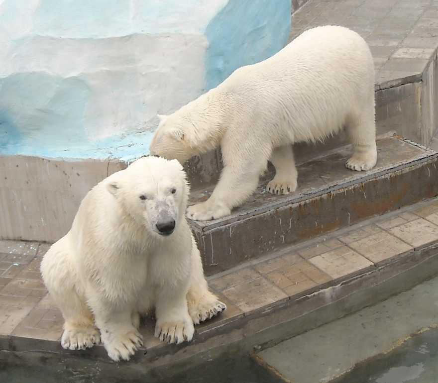 Белый медведь - Ursus maritimus  (фото 6396)
