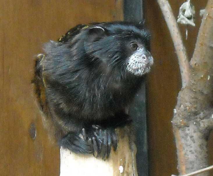 Буроголовый тамарин - Saguinus fuscicollis  (фото 6518)