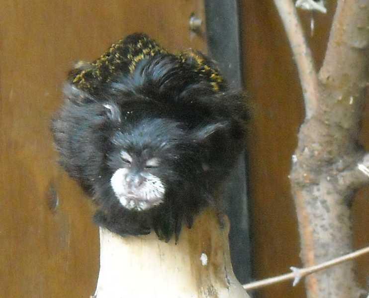 Буроголовый тамарин - Saguinus fuscicollis  (фото 6520)