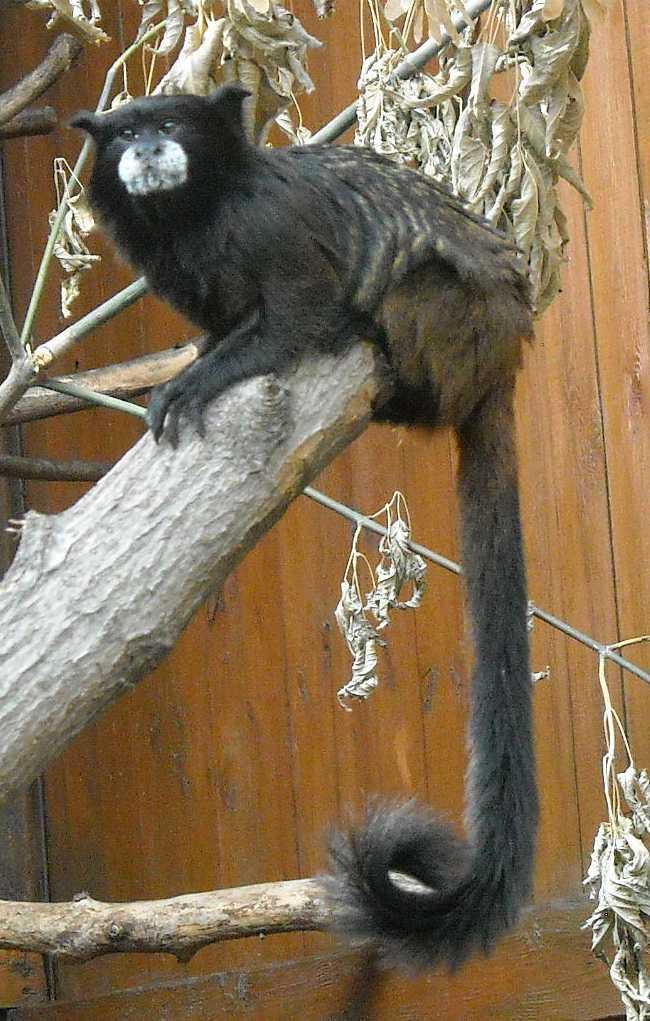 Буроголовый тамарин - Saguinus fuscicollis  (фото 6521)