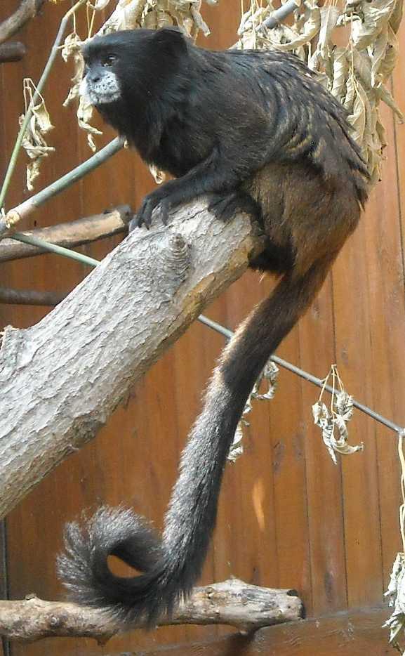 Буроголовый тамарин - Saguinus fuscicollis  (фото 6522)