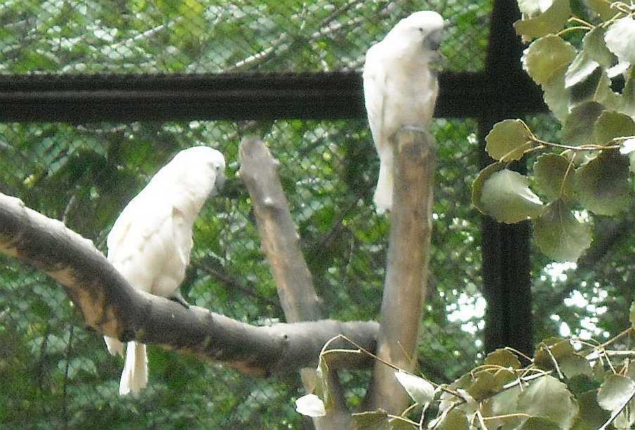 Молуккский какаду - Cacatua moluccensis  (фото 6554)