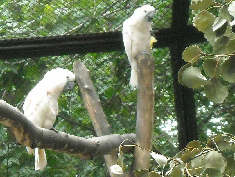 Молуккский какаду - Cacatua moluccensis  (фото 6555)
