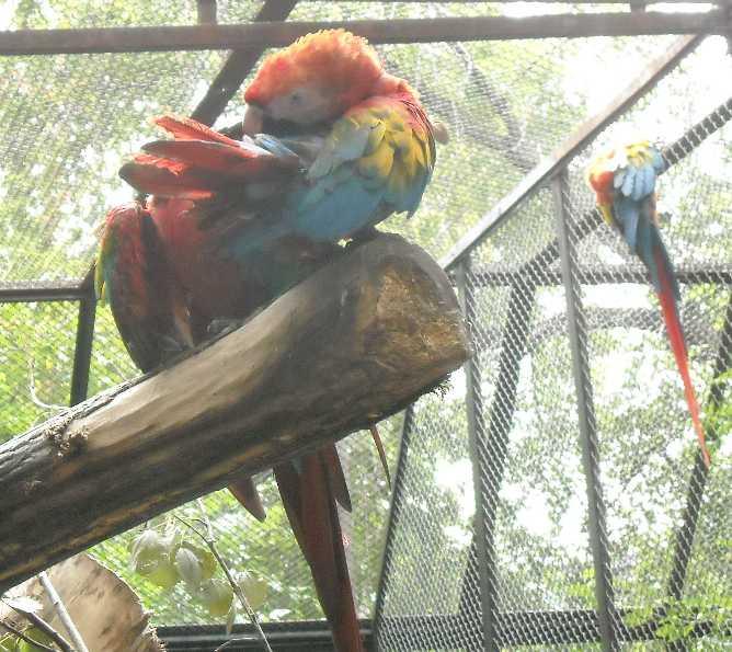 Красный ара - Ara macao  (фото 6556)
