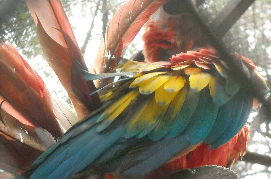 Красный ара - Ara macao  (фото 6558)
