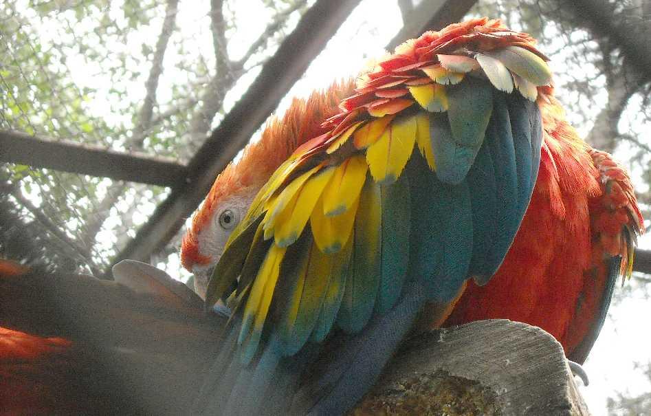 Красный ара - Ara macao  (фото 6559)
