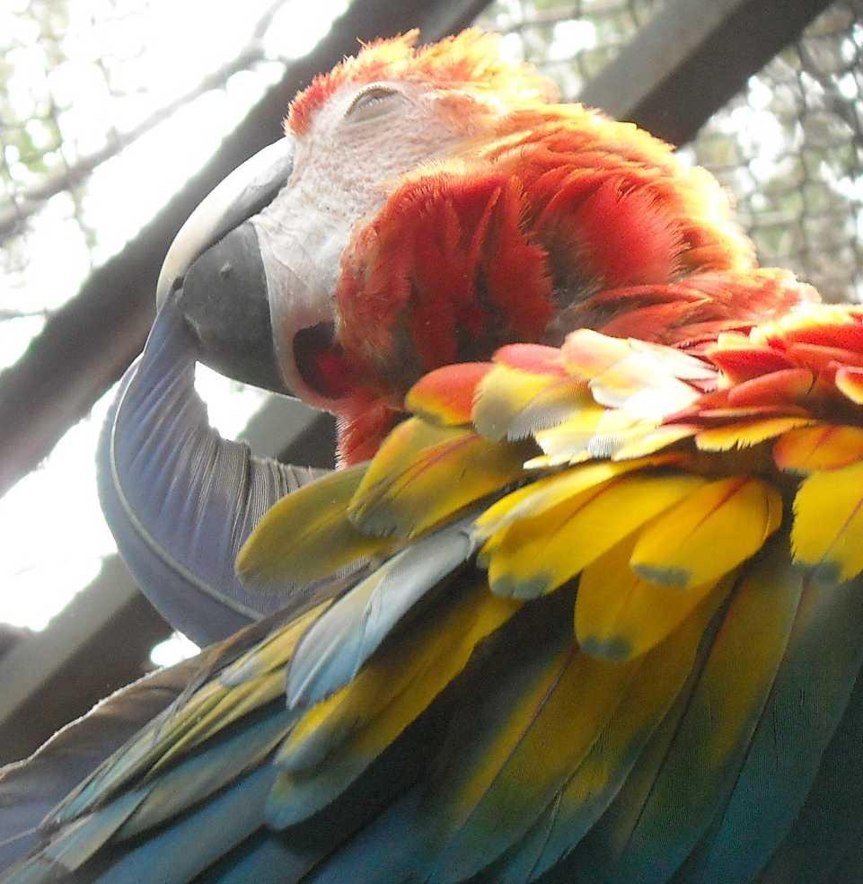 Красный ара - Ara macao  (фото 6560)