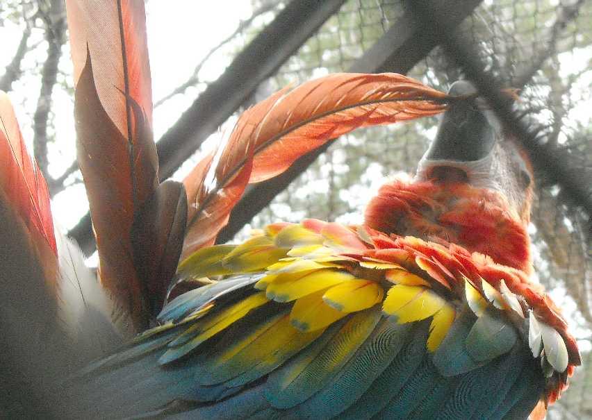 Красный ара - Ara macao  (фото 6561)