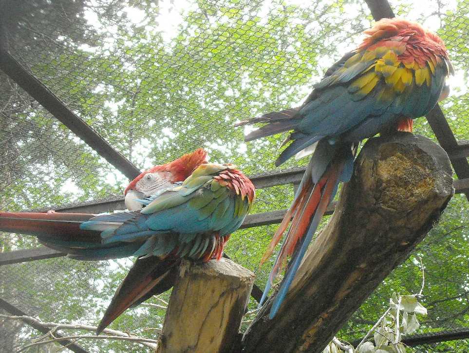 Красный ара - Ara macao  (фото 6562)