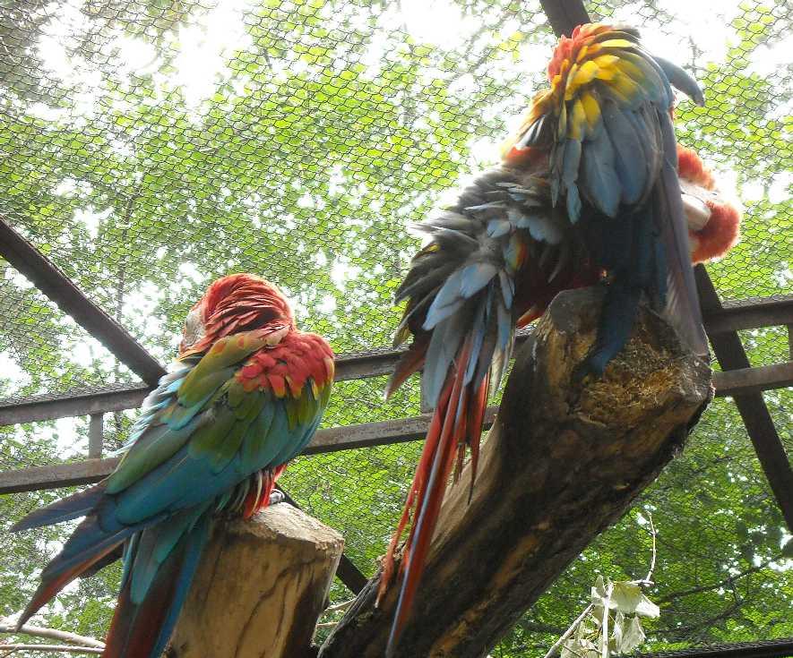 Красный ара - Ara macao  (фото 6563)