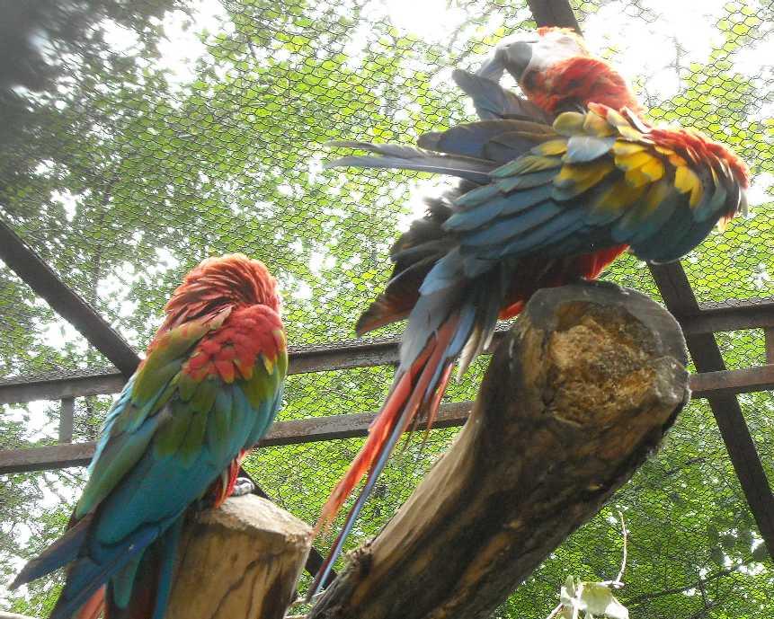 Красный ара - Ara macao  (фото 6564)